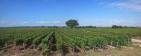 フランス ボルドー地方のワイン街道沿いのぶどう畑 22585002181| 写真素材・ストックフォト・画像・イラスト素材|アマナイメージズ