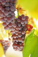 フランス アルザス地方のワイン街道 ぶどう畑