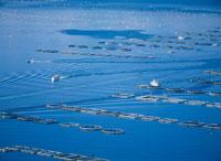 宇和海の養殖用ブイ