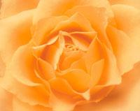 オレンジ色のバラ アップ