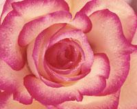 ピンク色のバラ アップ