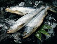 秋鮭 22678000256| 写真素材・ストックフォト・画像・イラスト素材|アマナイメージズ