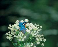 花とカワセミ
