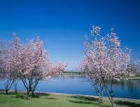 バルボアパークの桜
