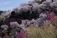 花見山公園の花
