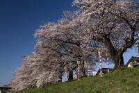 白石川の桜並木