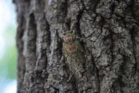 クヌギの樹にとまるヒグラシ