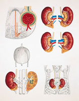 Close up of human kidneys
