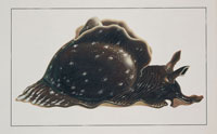 a sea hare 22907002441  写真素材・ストックフォト・画像・イラスト素材 アマナイメージズ