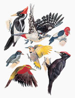 Close up of piciformes and woodpeckers