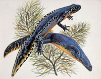 two alpine newts
