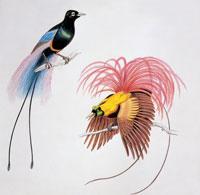 a blue bird of paradise 22907002718| 写真素材・ストックフォト・画像・イラスト素材|アマナイメージズ