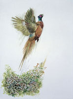 a ring necked pheasant flying