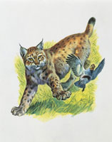 Eurasian lynx trying to catch bird