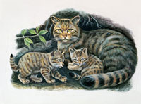 female European wildcat with kittens