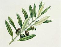 Close up of a plant with fruits 22907002858| 写真素材・ストックフォト・画像・イラスト素材|アマナイメージズ