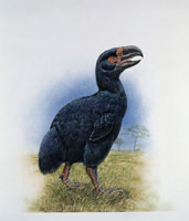 Side profile of a gastornis