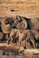 African elephants drinking water Etosha National Park