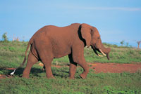 African elephant in the forest