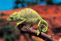 a female Oustalets chameleon
