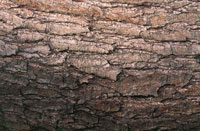 Close up of a Red Alder tree plank
