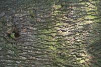 a Cedar Tree trunk