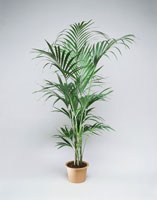 a Kentia palm tree