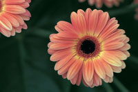 Close up of a Gerbera genus flowers