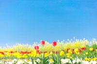 チューリップやビオラが咲いた春の花畑