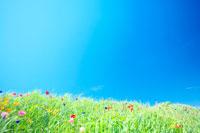 斜面に咲いたポピーの群生