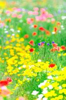 ポピーが咲いた春の花畑
