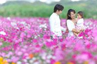 コスモス畑で遊ぶ家族