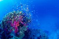 珊瑚礁に群れるキンギョハナダイ