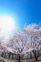桜の木々と青空