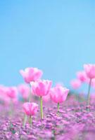 ピンクのチューリップと青空