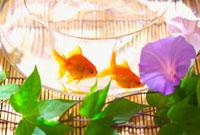 朝顔と2匹の金魚