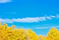 黄色いイチョウと青空と雲