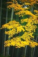 天龍寺の竹林と紅葉