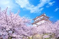 桜と小田原城 22910002123| 写真素材・ストックフォト・画像・イラスト素材|アマナイメージズ