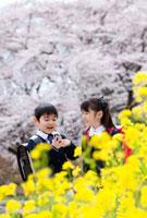桜と菜の花と新一年生の男の子と女の子