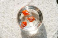ヨーグルト瓶の中で泳ぐ金魚