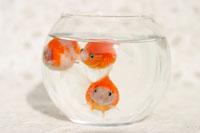 金魚鉢の中で泳ぐピンポンパール