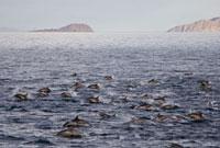Long-beaked Common Dolphin pair (Delphinus capensis) encount 22963000093| 写真素材・ストックフォト・画像・イラスト素材|アマナイメージズ