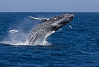 Humpback whale (Megaptera novaeangliae) breaching in the low 22963000145| 写真素材・ストックフォト・画像・イラスト素材|アマナイメージズ