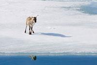 A stranded Svalbard reindeer fawn (Rangifer tarandus platyrh