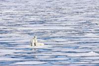 A pair of polar bears (Ursus maritimus) on multi-year ice fl
