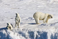 Mother polar bear (Ursus maritimus) with two coy (cubs-of-ye