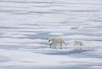 A mother polar bear (Ursus maritimus) with a single coy (cub