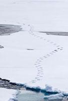 Polar bear (Ursus maritimus) tracks in fresh snow on multi-y