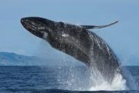 Humpback Whale (Megaptera novaeangliae) 22963000411| 写真素材・ストックフォト・画像・イラスト素材|アマナイメージズ
